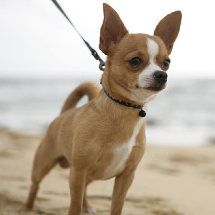 Tổng hợp giống chó cảnh được nuôi nhiều nhất ở Việt Nam 2020